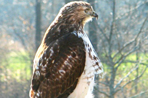 A Young Red-tailed Hawk