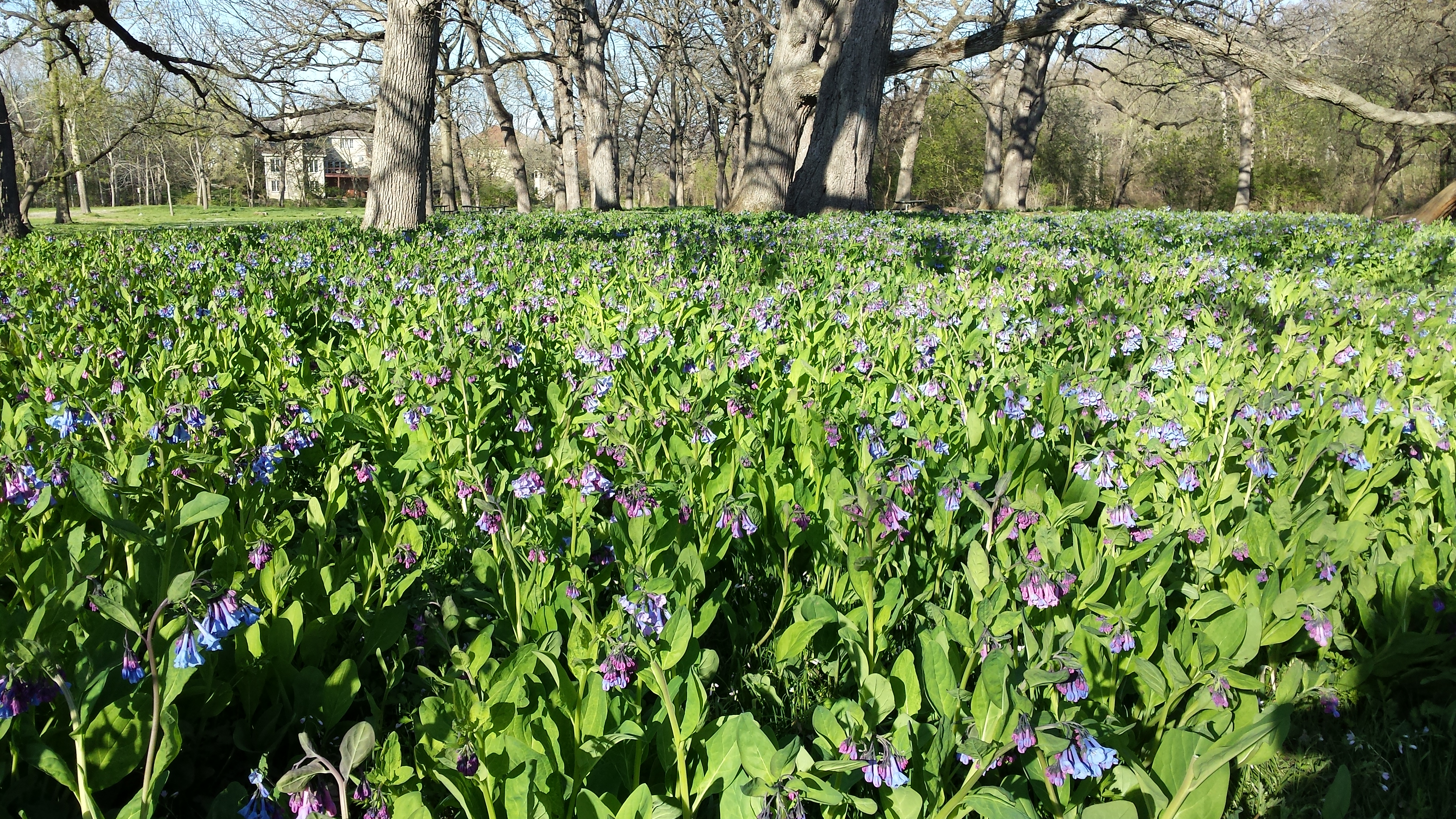 The Virginia Bluebells are Blooming!